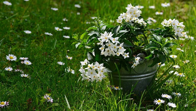 jasmin v květináči