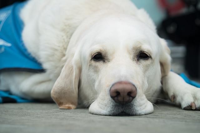 bílý labrador